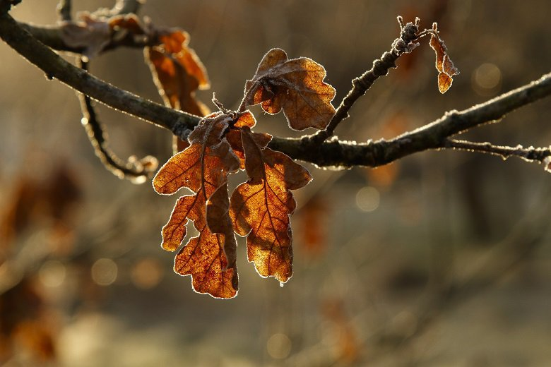 Frosted leaves on young oak forest bathing jocks wood kirkennan estate holiday cottages