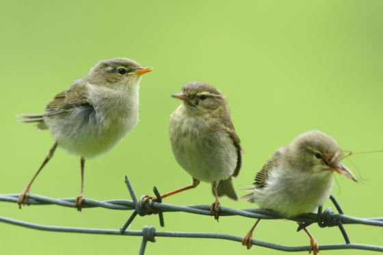 willow warbler and chicks may be of interest to birdwatchers