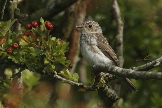 spotted flycatcher kirkennan in Dumfries and Galloway