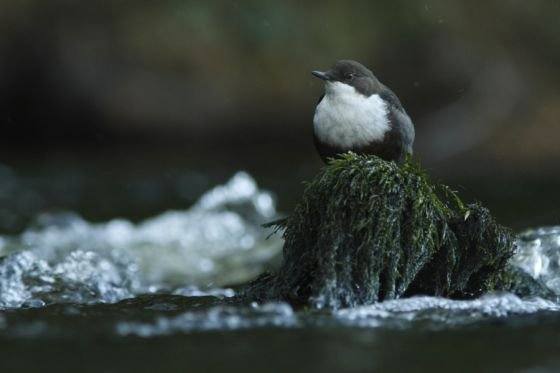 Dipper bird on the urr in Dumfries and Galloway