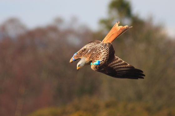 red kite birdwatching dumfries and galloway