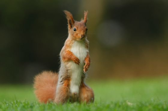 Red squirrels are frequent visitors to Kirkennan
