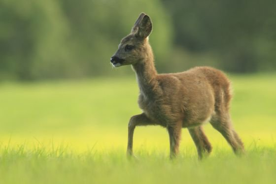 Nature lovers will enjoy seeing young roe deer kirkennan, Dumfries and Galloway