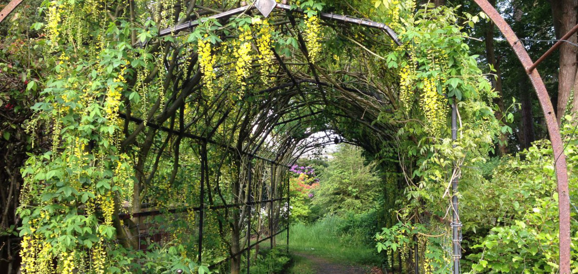 laburnum arch into walled garden