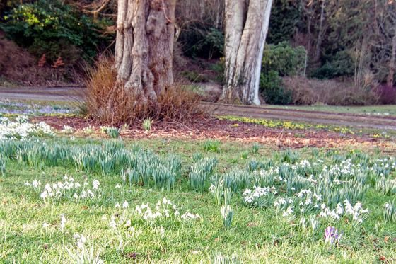 Snowdrops and winter aconites start showing in Kirkennan gardens mid to late January.
