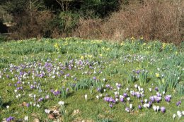 Crocuses and daffodils are naturalised in a number of the lawns.