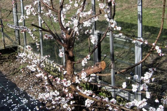 The apricot trees flower in March and require hand pollinating.