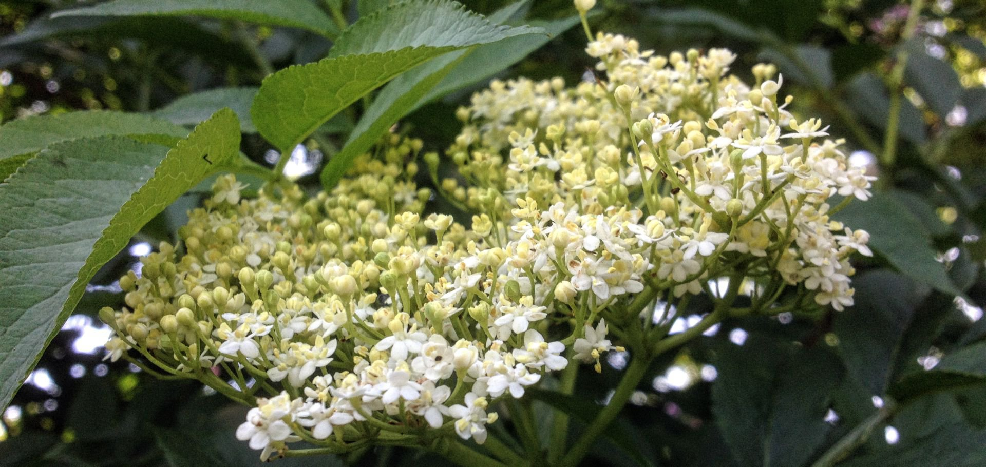 Wild Foods Elderflower Cordial Dumfries And Galloway