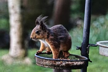 Red Squirrel On Feeder Outside Lodge Kirkennan South West Scotland