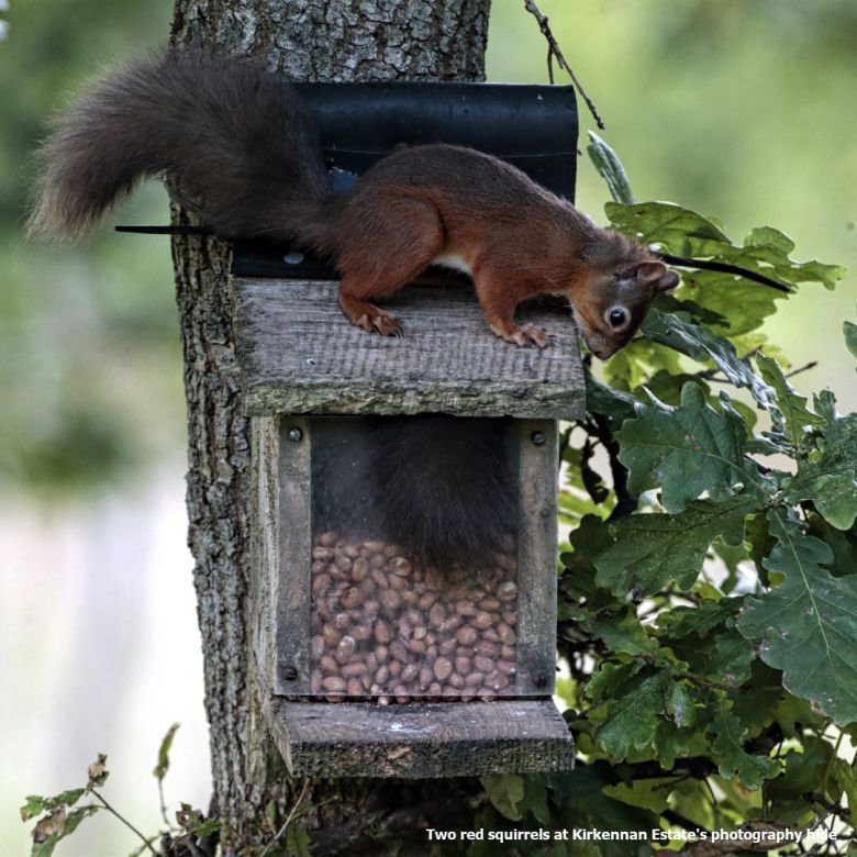 Two Red Squirrels Kirkennan South West Scotland