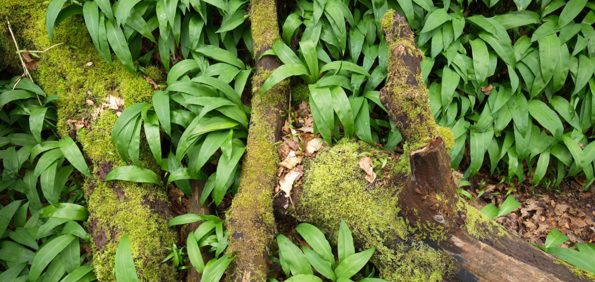 Wild garlic growing at Kirkennan Estate Holiday Cottages Dumfries and Galloway