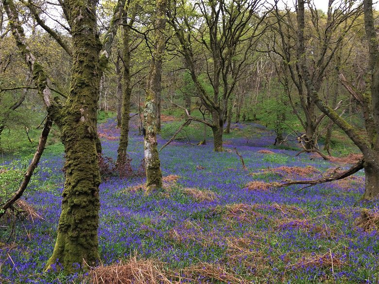 Bluebell carpet carstramon wood dumfries and galloway