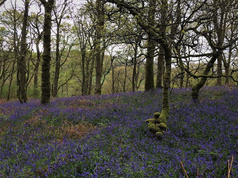 Bluebells and trees carstramon wood dumfries and galloway