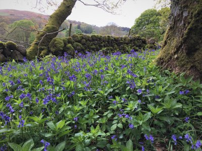 Bluebells at Carstramon Wood in Dumfries and Galloway