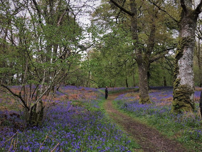Path through bluebells at Carstramon Wood dumfries and galloway