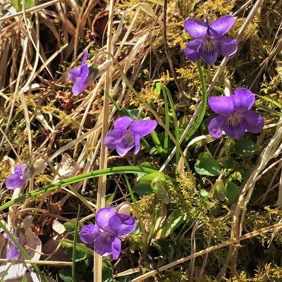 Common dog violet kirkennan woods short loop walking holidays dumfries and galloway