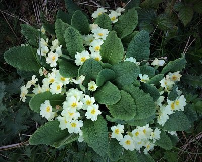 Wild primroses in kirkennan woods Dumfries and Galloway