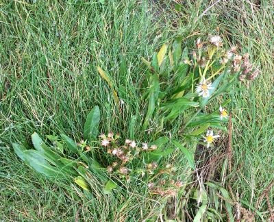 Sea Aster a wild food in dumfries and galloway
