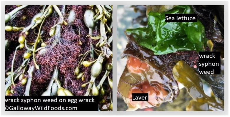 wrack syphon weed on egg wrack sea lettuce and laver